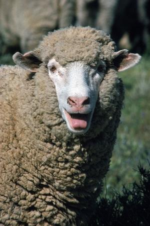 Koyunlar 1 Hayvanlar Kanvas Tablo