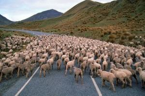 Koyunlar 2 Koyun Sürüsü Eve Dönüş Hayvanlar Kanvas Tablo