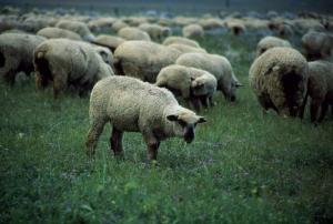 Koyunlar 3 Koyun Sürüsü Hayvanlar Kanvas Tablo