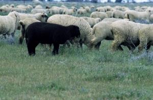 Koyunlar 4 Koyun Sürüsü Hayvanlar Kanvas Tablo