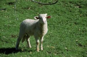 Koyunlar 5 Hayvanlar Kanvas Tablo