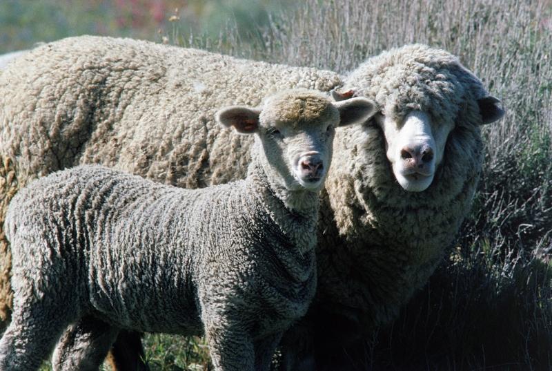 Koyunlar 6 Koyun Yavrusu Hayvanlar Kanvas Tablo