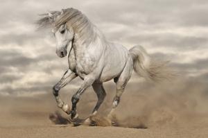 Kumsalda Koşan Beyaz At Hayvanlar Kanvas Tablo