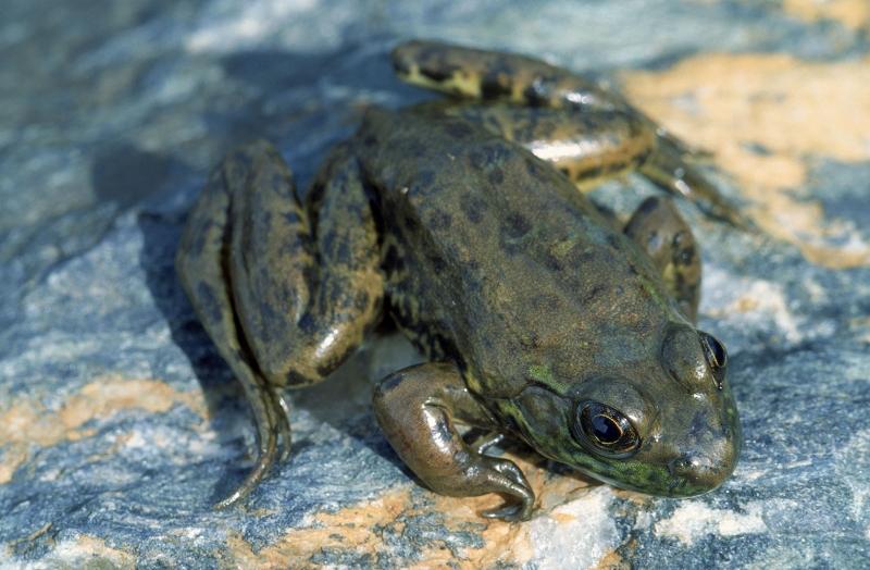 Kurbağalar 1 Yeşil Kurbağa Hayvanlar Kanvas Tablo