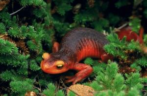 Kurbağalar 2 Kızıl Zehirli Kurbağa Hayvanlar Kanvas Tablo