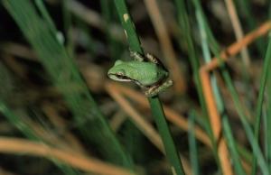 Kurbağalar 3 Yeşil Kurbağa Hayvanlar Kanvas Tablo