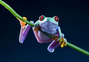 Kurbağalar 4 Yeşil Mor Kurbağa Hayvanlar Kanvas Tablo