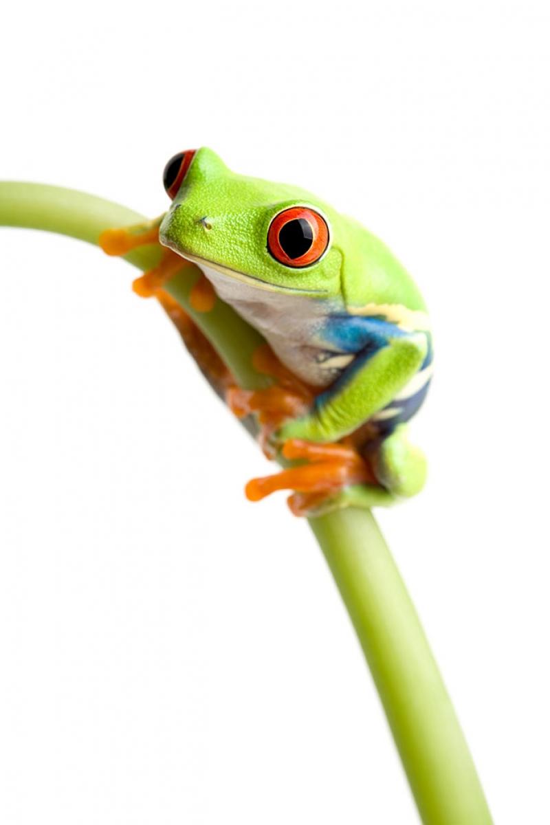 Kurbağalar 5 Yeşil Kurbağa Hayvanlar Kanvas Tablo