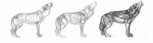 Kurt Anatomi Çizimi Hayvanlar Kanvas Tablo