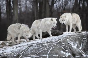 Kurt Sürüsü Hayvanlar Kanvas Tablo