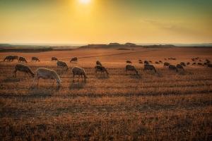 Kuzular Çiftlik Doğa Manzaraları Kanvas Tablo