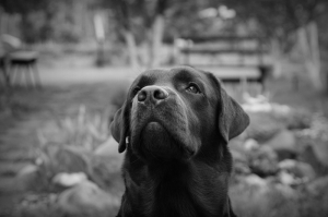 Labrador Köpek Siyah Beyaz Kanvas Tablo