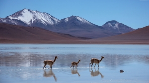 Lama Lagun Bolivia Hayvanlar Kanvas Tablo