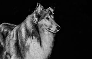Lassie Köpek Hayvanlar Kanvas Tablo