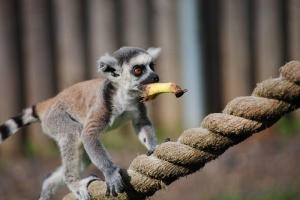 Maki Maymunu Hayvanlar Kanvas Tablo