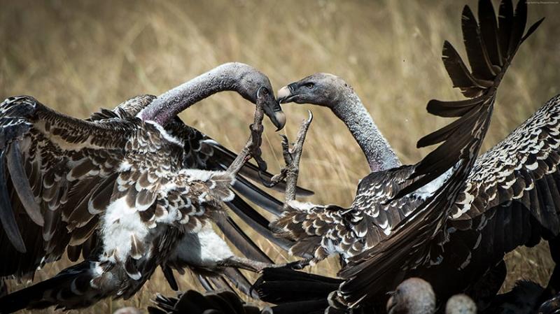 Masai Mara Kenya Akbaba Hayvanlar Kanvas Tablo