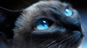 Mavi Gözlü Kedi Hayvanlar Kanvas Tablo