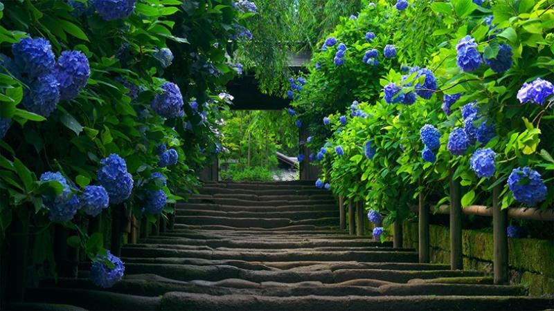 Mavi Ortancalar ve Merdivenler Doğa Manzaraları Kanvas Tablo
