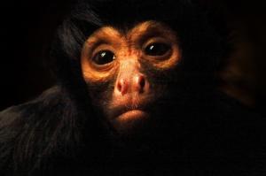 Maymun Hayvanlar Kanvas Tablo