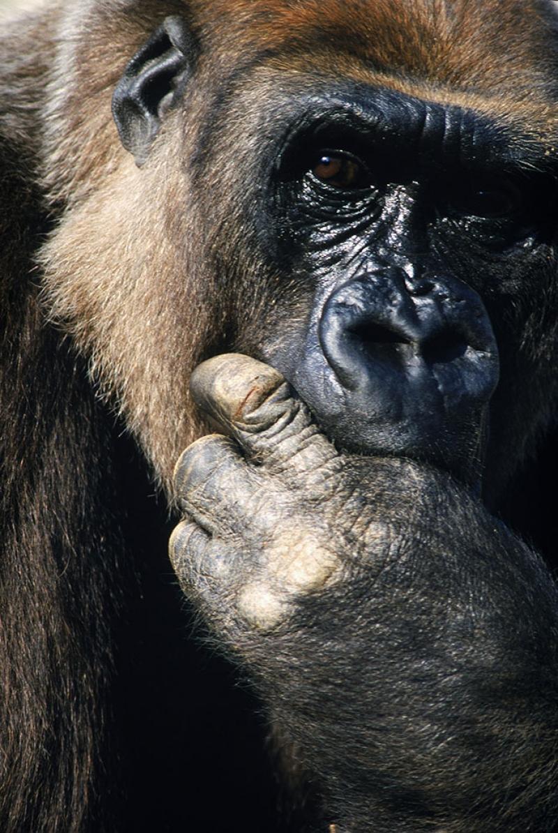 Maymunlar 11 Hayvanlar Kanvas Tablo