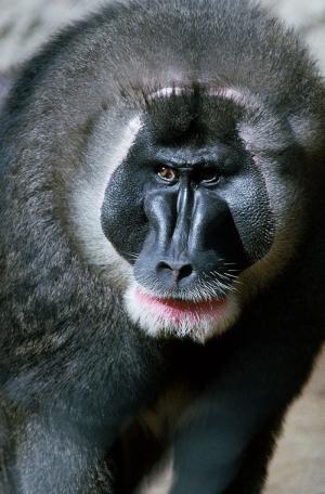 Maymunlar 12 Hayvanlar Kanvas Tablo