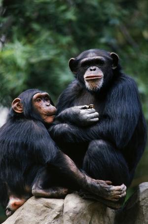 Maymunlar 13 Hayvanlar Kanvas Tablo