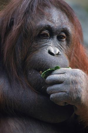 Maymunlar 14 Hayvanlar Kanvas Tablo