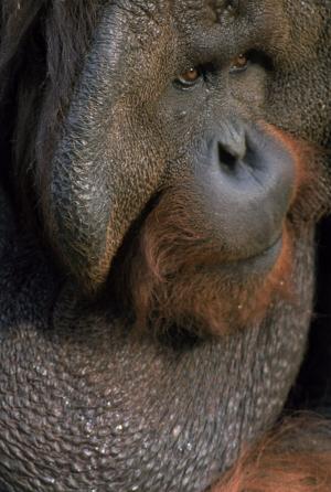 Maymunlar 15 Hayvanlar Kanvas Tablo