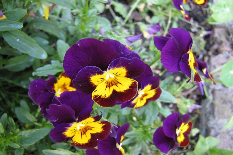 Mor Çiçekler-2 Floral Kanvas Tablo