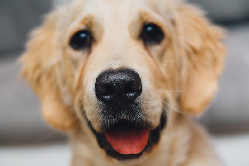 Mutlu Golden Labrador Hayvanlar Kanvas Tablo