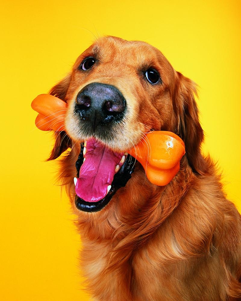 Mutlu Labrador Golden Hayvanlar Kanvas Tablo