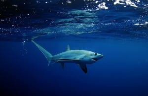Okyanusta Bir Köpekbalığı Doğa Manzaraları Kanvas Tablo