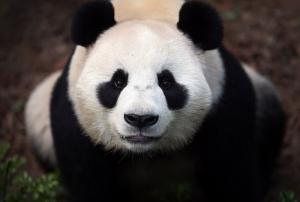 Panda Hayvanlar Kanvas Tablo