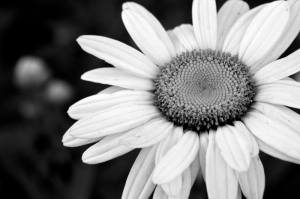 Papatya 2 Siyah Beyaz Floral Sanat Kanvas Tablo