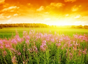 Pembe Çiçekler ve Gün Batımı Doğa Manzaraları Kanvas Tablo