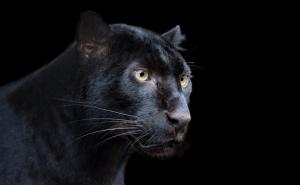 Puma Hayvanlar Kanvas Tablo