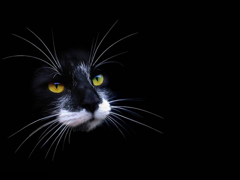 Sarı Göz Siyah Kedi Kanvas Tablo