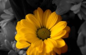 Sarı Papatya Doğa Manzaraları Kanvas Tablo