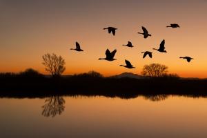 Sazlıktan Havalanan Ördekler ve Gün Batımı Doğa Manzaraları Kanvas Tablo