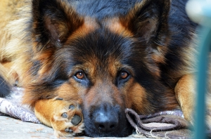 Sevimli Alman Kurdu Hayvanlar Kanvas Tablo