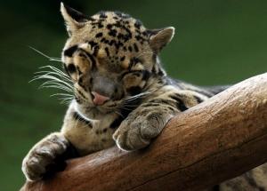 Sevimli Kaplan Hayvanlar Kanvas Tablo