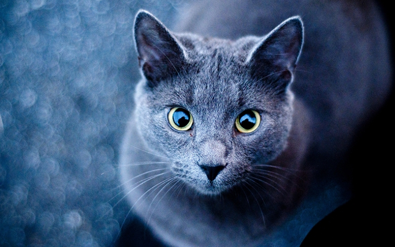 Sevimli Kedi Mavi Gözler Kanvas Tablo