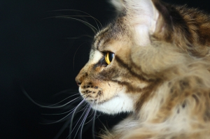 Sevimli Kedi Profil Hayvanlar Kanvas Tablo
