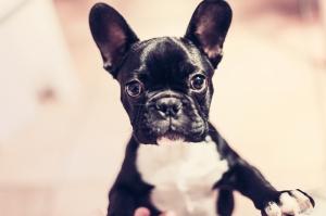 Sevimli Küçük Köpek Hayvanlar Kanvas Tablo