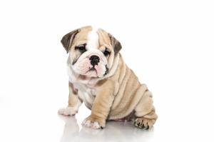 Sevimli Yavru Köpek Hayvanlar Kanvas Tablo