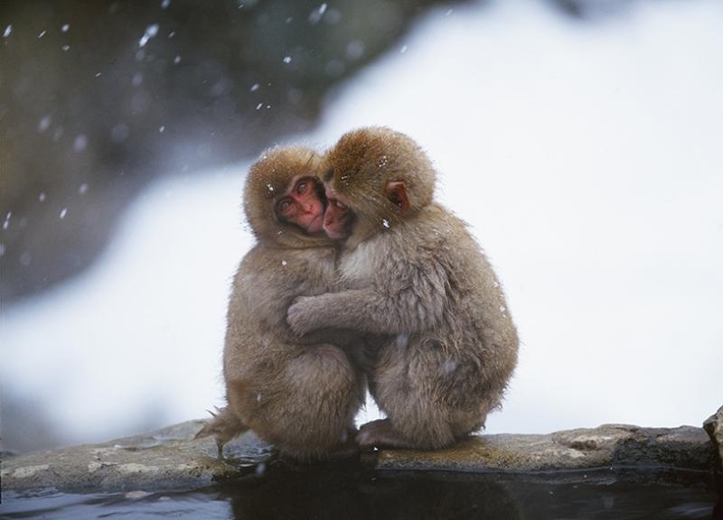 Sevimli Yavru Maymunlar Kanvas Tablo