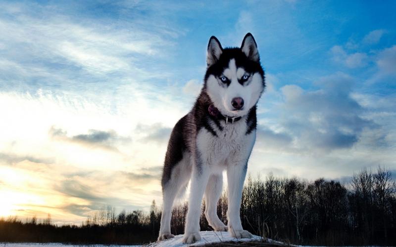 Sibirya Kurdu 2 Hayvanlar Kanvas Tablo