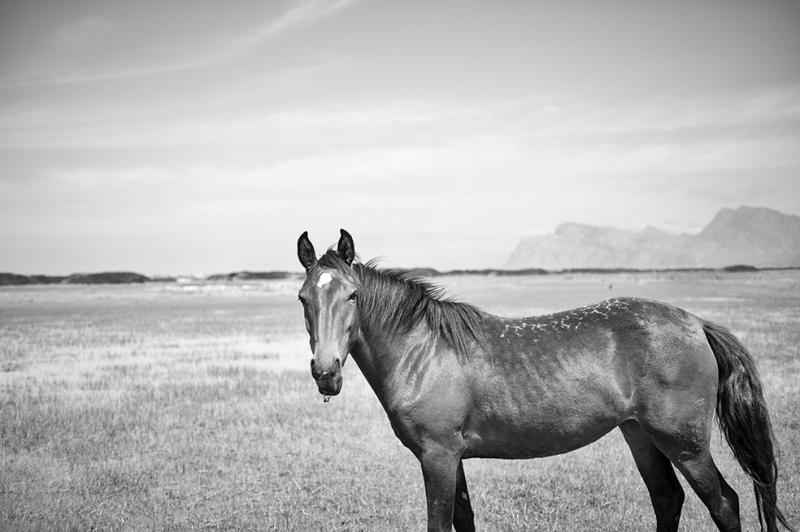 Siyah Beyaz At Hayvanlar Kanvas Tablo