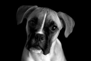 Siyah Beyaz Jack Russel Köpek Hayvanlar Kanvas Tablo