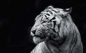 Siyah Beyaz Kaplan Hayvanlar Kanvas Tablo